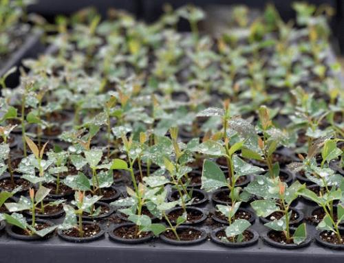 Už zase sázíme, letos dáme v Kolumbii 33 325 nových stromů